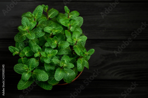 Green mint plant grow in a pot on black wooden background