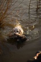 Dog Carrying A Duck In Its Mouth While Swimming Across A River.