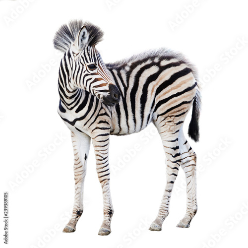 Photo Stands Zebra Cute child zebra isolated on white background