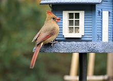 A Female Cardinal Bird Is Perc...