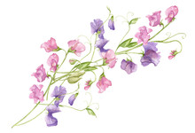 Sweet Pea Blossoms Bouquet On A White Background. Isolated Sweet Pea Blossoms Set. Floral Pattern Elements And Blossoms. Tender Cute Flowers.