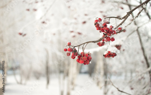 Fotografie, Obraz  Rowan branch with red berries