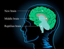 Neuroscience Vector Illustration. Scheme Image Of The Human Brain Structure: Reptilian Brain, Middle Brain And New Brain
