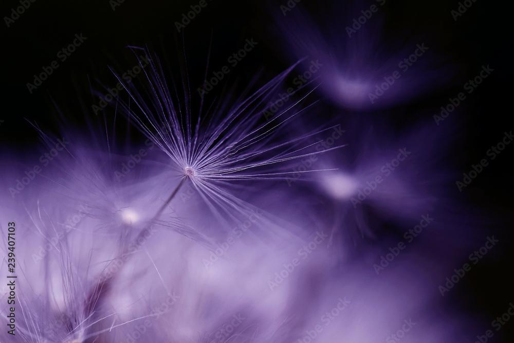 Fototapety, obrazy: Nahaufnahme von einem verblühten Löwenzahn. Samen von einer Pusteblume in violett