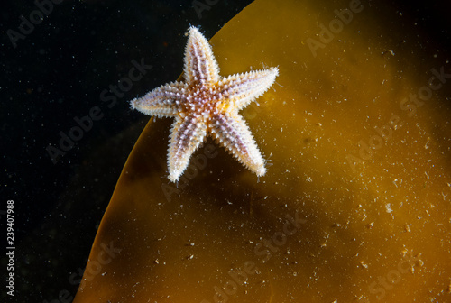 Photo Juvenile common starfish hanging on a seaweed