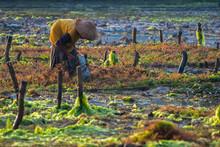 Seaweed Farmers Harvesting Cro...