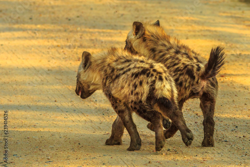 Poster Hyène Two spotted hyena cubs species Crocuta crocuta, run along the dirt road in Kruger National Park, South Africa. Iena ridens or hyena maculata outdoor.