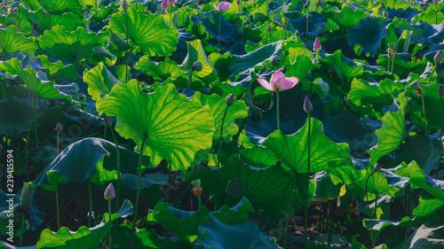 Foto op Plexiglas Groene Lotus flowers and leaves in the West Lake, at Zhongshan Park, Hangzhou, China