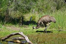 Emu Eating Near Muddy Water