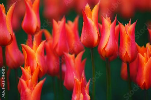 Photo  Red/Orange Tulips