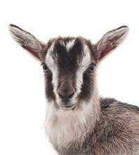 Little Gray Goat.