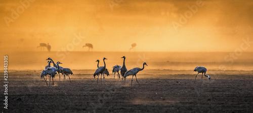 Fotografie, Obraz  Cranes  in a arable field at sunrise