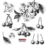 Set of cherry branches - 239447335