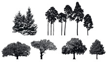 Trees - Black Vector Silhouette Isolated On White Background.   Set Of Realistic Detailed Graphic Illustration Of Natural Forest Plant.