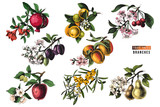Fruit trees branches - 239448386