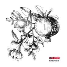 Hand Drawn Pomegranate Branch