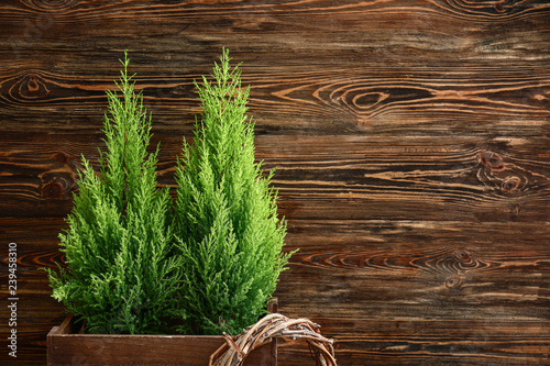 Cuadros en Lienzo Lemon cypress tree plants on wooden background
