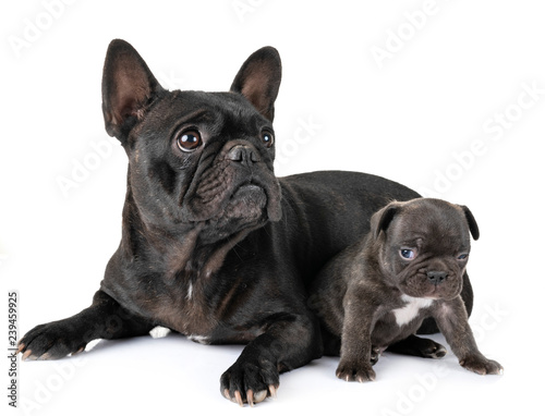 Tuinposter Franse bulldog family french bulldog