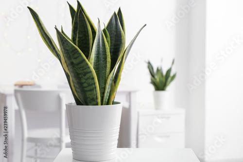 Poster Vegetal Sansevieria plant in pot on table