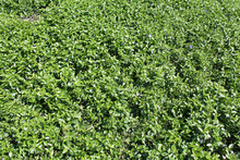 Ground Cover With Dense Growth...