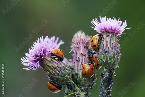 Photo Ladybirds hunting aphids