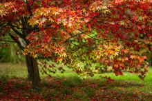 Japanese Maple (Acer Palmatum)...