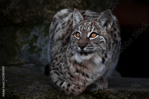 Lynx is a big wild cat ironically looking, dark background