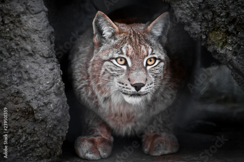 Poster Lynx Lynx is a big wild cat ironically looking, dark background