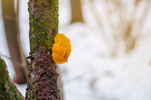 Orange Mushroom Species Tremella Mesenterica On A Dry Branch Of A Tree Covered With Lichens In The Forest.