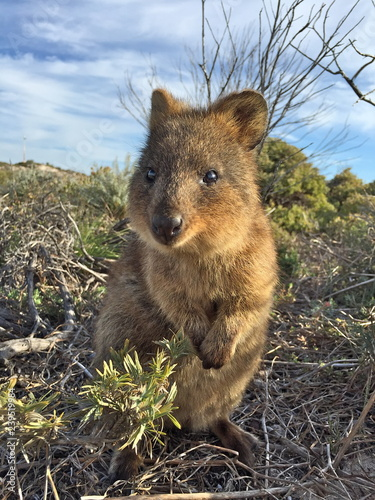 Printed kitchen splashbacks Quokka (Setonix Brachyrus) encounter at Rottnest Island, Western Australia, The happiest animal on earth