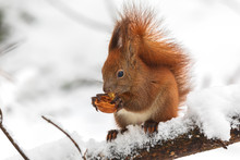Eurasian Red Squirrel (Sciurus...