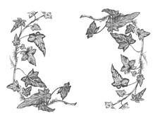 White And Black Illustration Of Ivy.