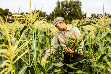 Farmer Standing In A Corn Field, Harvesting Maize Cobs.