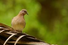 Laughing Dove / Streptopelia S...