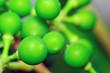 Leinwandbild Motiv green macro grapes