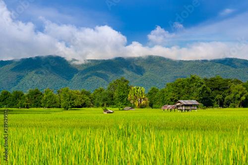 Poster Rijstvelden Landscape of beautiful Golden rice field in Asia.