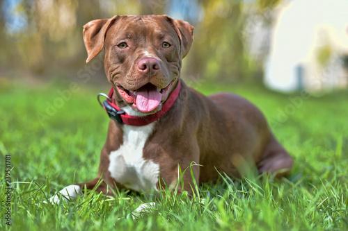 brown pit bull terrier