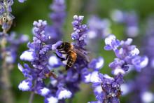 Bee On Blue Salvia