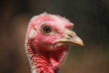 Portrait Of A Female Turkey Cl...