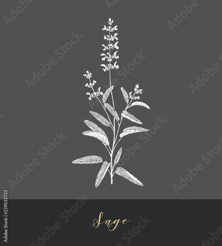 Photo  Vector sage plant.