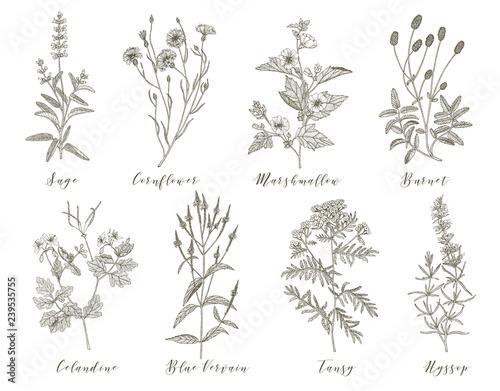 Photo  Vector medicinal herbs.