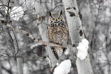 Great Horned Owl On Tree