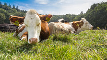 Red And White Spotted Cows Relaxing And Sleeping In Green Grass Under A Blue Sky In Berg En Dal, The Netherlands