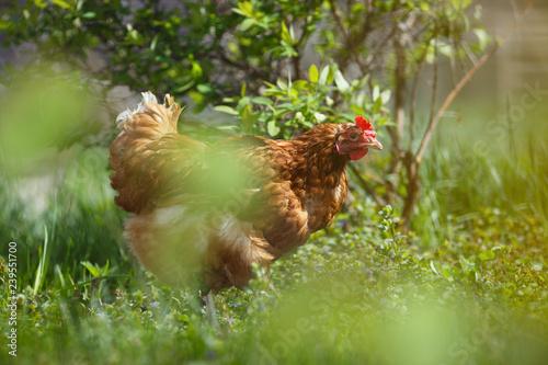Photo Hen in the summer garden in the background of green vegetation.