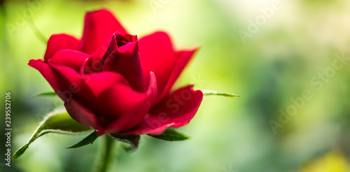 Petals of a red rose bud