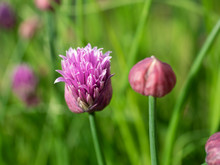 Close Up Of A Open Flower And A Bud Of The Culinary Herb Chives. The Flowers Are Very Attractive To Bees But Deter Many Other Insect Pests