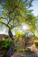 A Mesquite Tree With The Sun I...