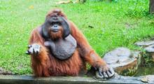 Funny Large Brown Sumatran Ora...