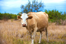 A Red-headed Cow With Horns Wi...