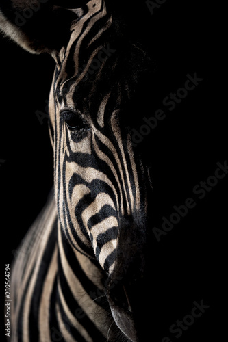 Canvas Prints Zebra Maneless zebra